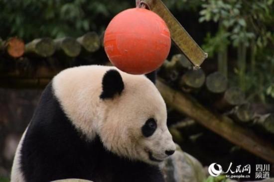 """相关链接: 旅美大熊猫""""宝宝""""平安回家 图片揭秘成长温馨瞬间 美国"""